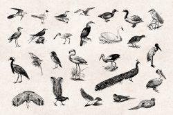 Birds – Vintage Engraving Illustrations 03