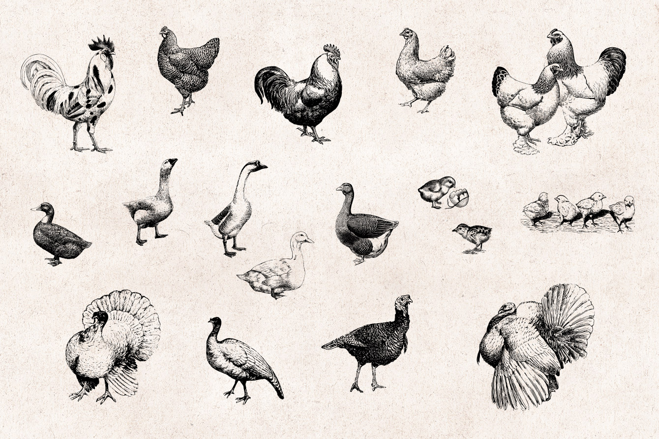Farm Animals Vintage Engraving Illustrations 02