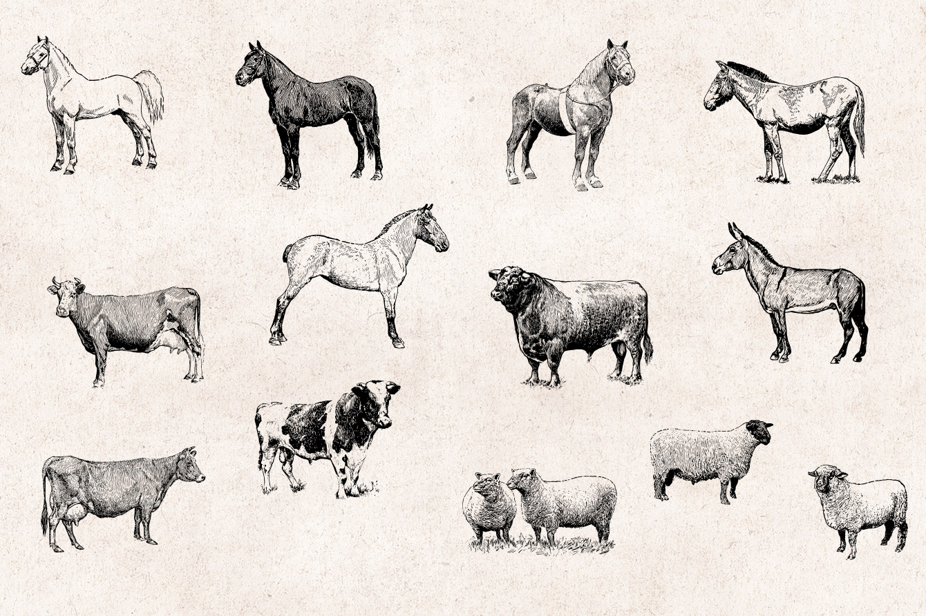 Farm Animals Vintage Engraving Illustrations 03