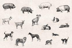 Farm Animals – Vintage Engraving Illustrations 04