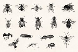 Insects – Vintage Engraving Illustrations 02