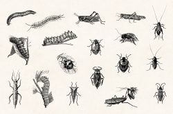 Insects – Vintage Engraving Illustrations 03