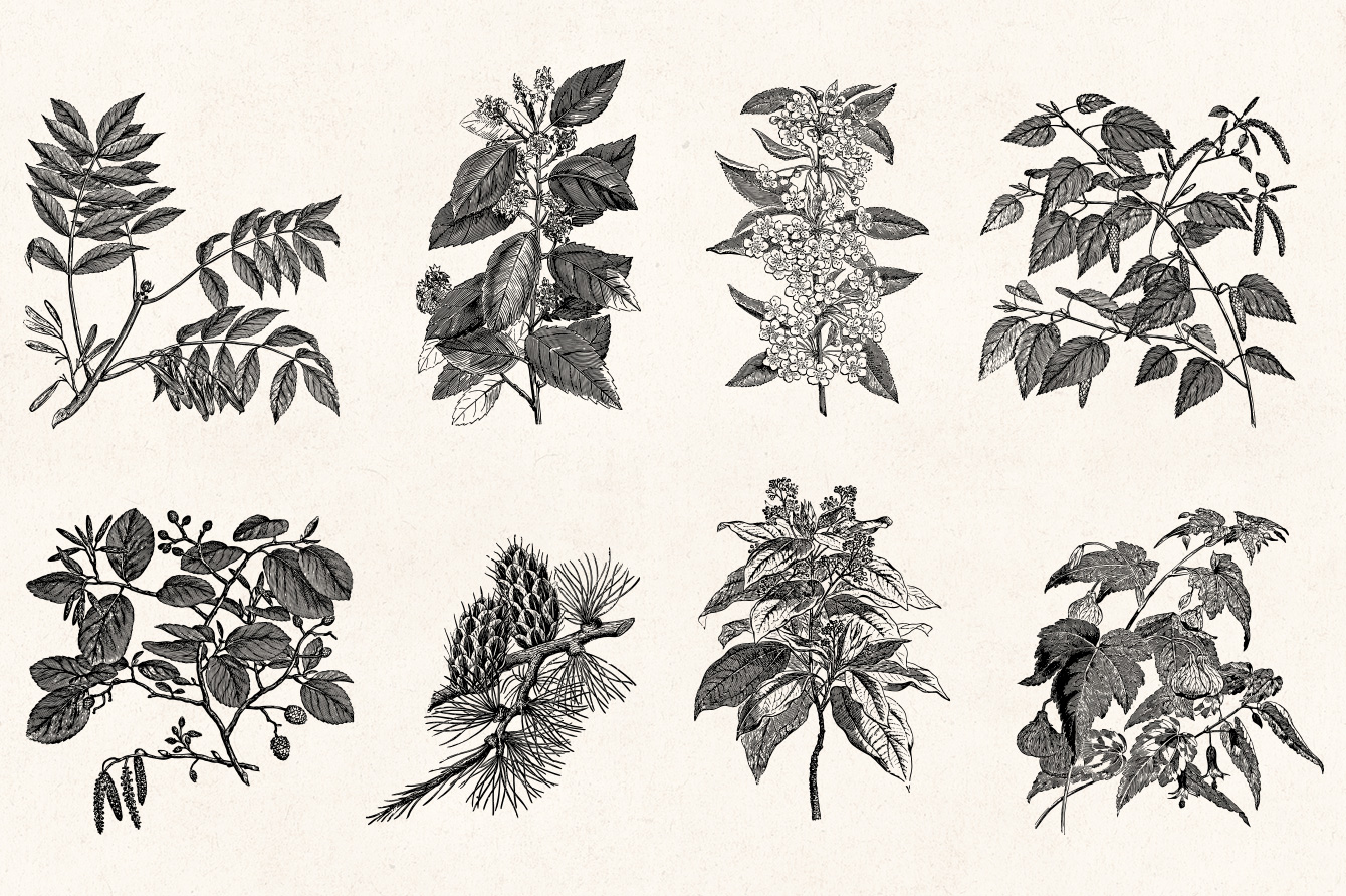 Leaves twigs vintage illustrations graphic goods leaves twigs vintage engraving illustrations 03 thecheapjerseys Gallery