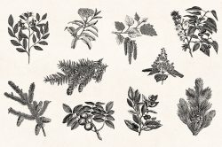 Leaves & Twigs – Vintage Engraving Illustrations 07