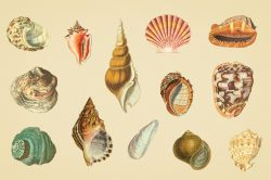 Shells – Vintage Color Illustrations 02