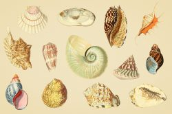 Shells – Vintage Color Illustrations 03