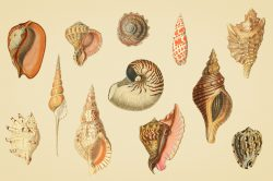 Shells – Vintage Color Illustrations 04