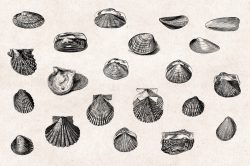 Shells – Vintage Engraving Illustrations 02
