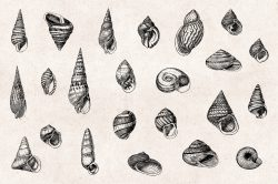 Shells – Vintage Engraving Illustrations 03