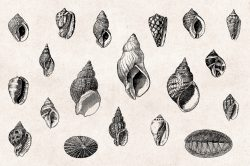 Shells – Vintage Engraving Illustrations 04