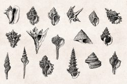 Shells – Vintage Engraving Illustrations 05