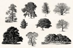Trees – Vintage Engraving Illustrations 04