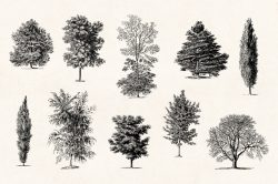 Trees – Vintage Engraving Illustrations 06