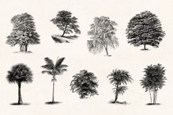 Trees – Vintage Engraving Illustrations 07