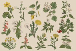 Botanica – Vintage Illustration Set 08