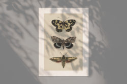 Butterflies and Moths – Vintage Illustrations by Graphic Goods 02