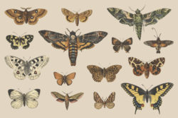 Butterflies and Moths – Vintage Illustrations by Graphic Goods 04
