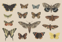 Butterflies and Moths – Vintage Illustrations by Graphic Goods 06