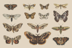 Butterflies and Moths – Vintage Illustrations by Graphic Goods 09