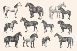 Horses – Vintage Illustration Set by Graphic Goods 02