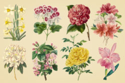 Vintage Color Illustrations of Flowers by Graphic Goods 07
